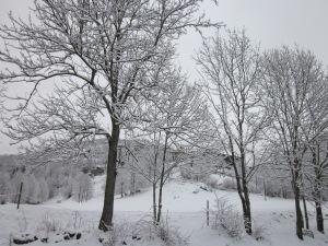 Espinavell entre els arbres nevats