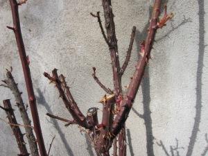 El roser, promesa de futur molt florit!