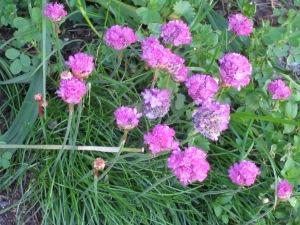 Del jardí de la Roser, la marginata, que enguany floreix amb fúria!!