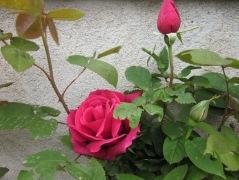 Rosa de Sant Joan