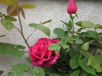 Rosa de Sant Joan, i fa una olor...!!!